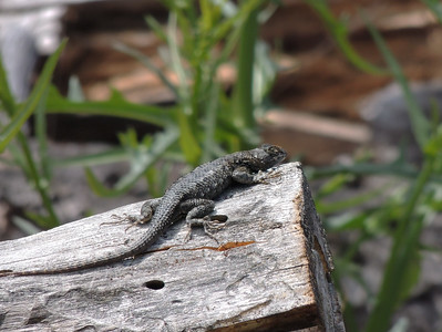 Lizard | Pinnacles National Park