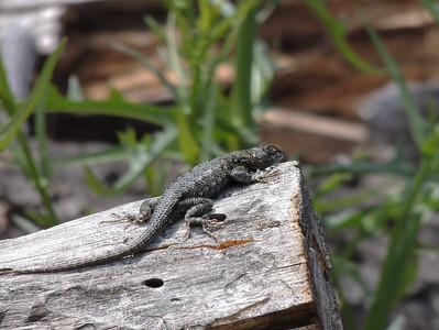 Lizard | Pinnacles National Park