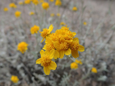 Yellow Pincushion | Pinnacles National Park