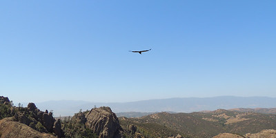 Soaring Condor | Pinnacles National Park