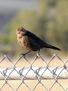 Bird on a Fence | Central California