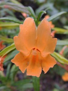 Wildflowers | Pinnacles National Park