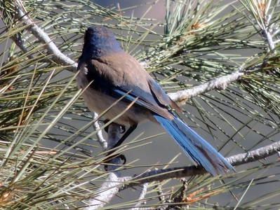 Stellar Jay | Pinnacles National Park