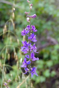 Parry's Larkspur | Pinnacles National Park