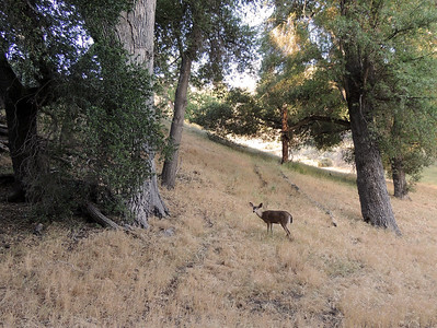 Black-tailed Deer | Pinnacles National Park