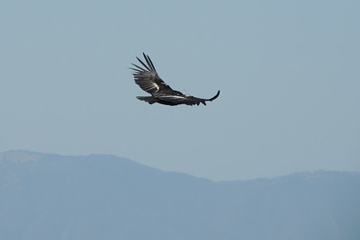 California Condor | Pinnacles National Park