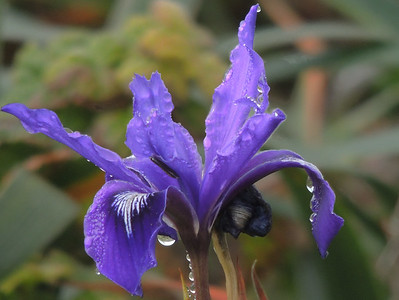 Purple Iris | Point Reyes National Seashore