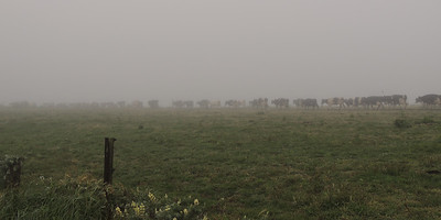 Foggy Herd | Point Reyes National Seashore