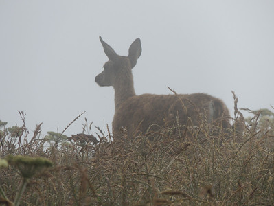 Deer in Fog | Point Reyes National Seashore