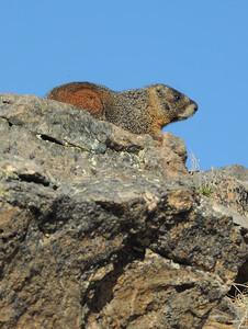 Marmot   Rocky Mountain