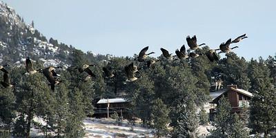 Taking Flight   Estes Park, CO