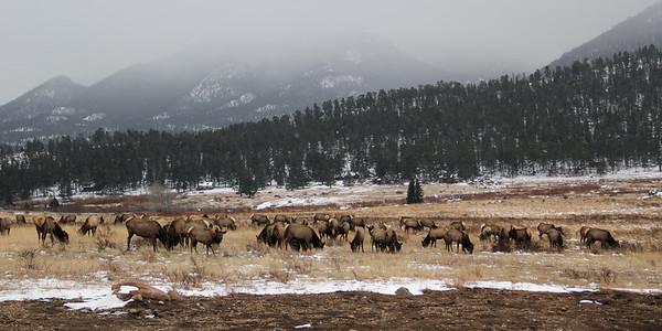Grazing Elk   Rocky Mountain National Park