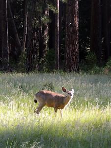 Deer   Yosemite National Park