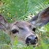 Deer | Yosemite National Park