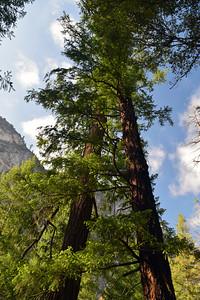 Trees   Yosemite National Park