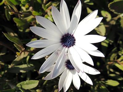 African Daisy | California