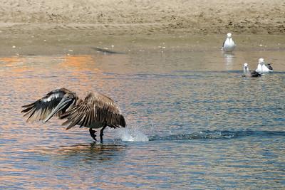 Pelican | Capitola, California