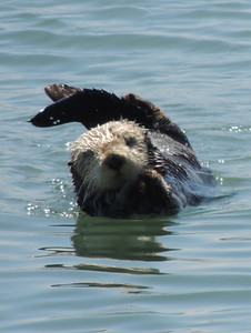 Sea Otter | Morro Bay, CA