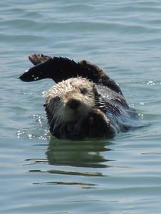 Sea Otter | Morro Bay, CA