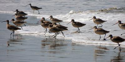 Long-billed Curlew | Morro Bay, California