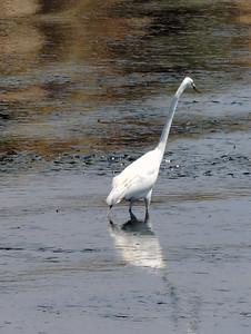Egret | Capitola, California