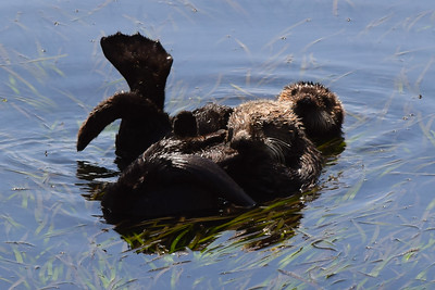 Sea Otters | Morro Bay, CA