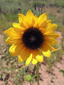 Sunflower | Route 66 in Texas