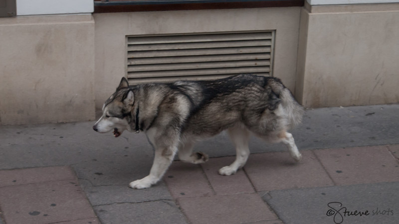The Wandering Husky