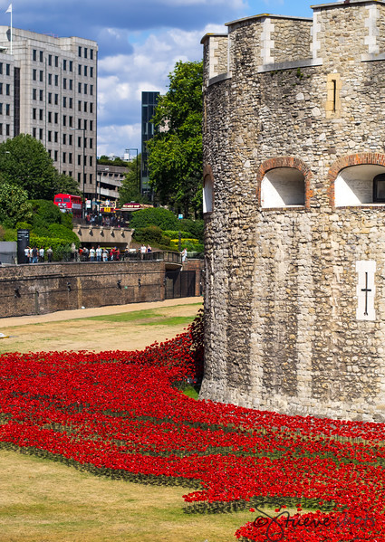 Poppies at the Tower