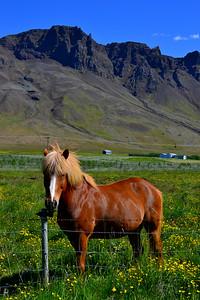 Icelandic Horse Snæfellsnes Peninsula, East Iceland