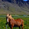 Icelandic Horse<br /> Snæfellsnes Peninsula, East Iceland