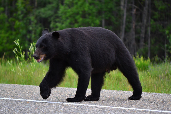 Black Bear in British Columbia, Canada