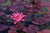 Pink water lily <br /> <br /> Powell Gardens, Missouri