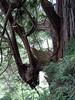Redwood 'elbow'