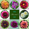 Dahlia Parade - Pick your favorite