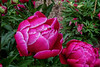 No name, but worthy of a claim to your attention - Peony Unknown 1-4ef (Bed 1) (sc 2018-8-1)