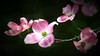 For 2017-05-05:  Pink Dogwood blossoms floating in air - filtered version