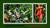 Aechmea chantinii, bromeliad montage (sc 2017-12-9)