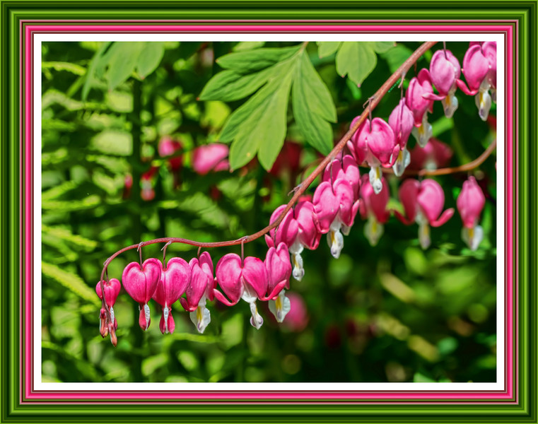 The spring pink of bleeding hearts