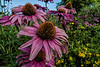 For 2017-07-26:  Purple coneflower and potentilla