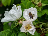 Seeing is Bee-lieving - Roses and bumblebees