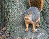 Fox squirrel in a stance of false bravado