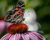 Painted Lady butterfly nectaring