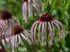 Pale purple coneflower, Echinacea pallida