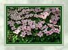 Pink Cornus kousa, Japanese dogwood