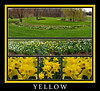Yellow is a dominant color for a few special days each spring