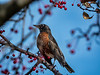 American robin in crabapple tree