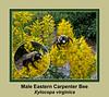 Male eastern carpenter bee on goldenrod
