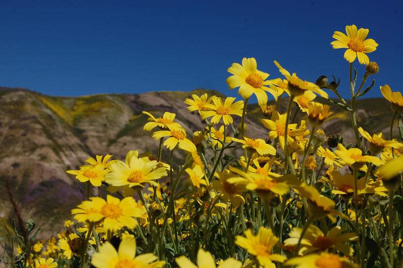 Hillside Daisies