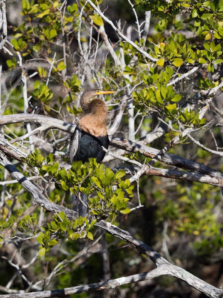 Anhinga. Ding Darling Wild Life Refuge, Sanibel Island, FL